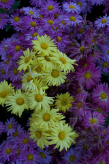 Purple and yellow daisy background and texture vertical