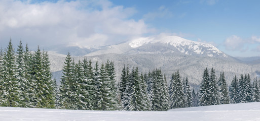 Mountain range with spruces in foreground in Carpathians in winter