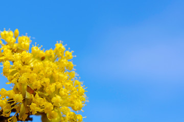 Photo of blooming yellow twig dogwood in garden in spring