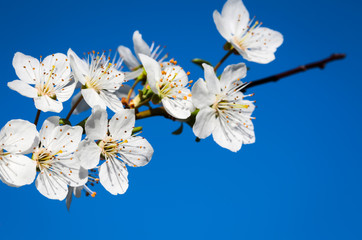 Beautiful cherry blossom in spring time in bright sunny day over blue sky.Selective focus close-up photography.