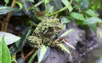 Зеленая мшистая лягушка