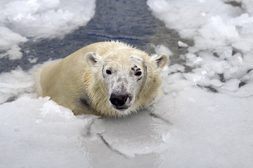 White bear in the sea (Ursus maritimus), swimming in the ice. king of the arctic