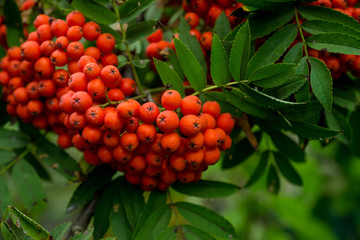 Branches of rowan tree with red ripe berries. Selective focus. Shallow depth of field.