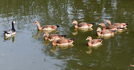 Nilgans, Alopochen aegyptiacus, Wasservogel