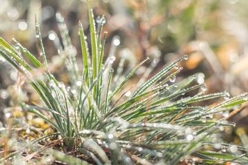 Morning dew on green grass