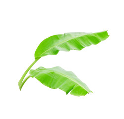 Two green banana leaf isolated on white background with clipping path.