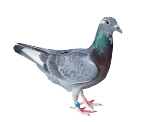 sport racing pigeon bird isolate white background