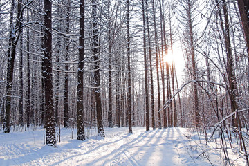 The sun in a cold winter forest