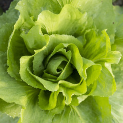 closeup of green lettuce plant in garden seen from above
