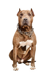 Serious pit bull dog isolated on white background