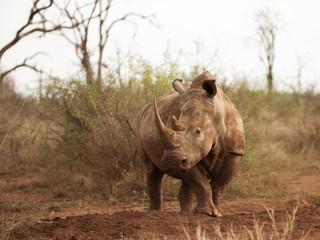 Female Southern White Rhino in Hlane RNP, Swaziland, Africa