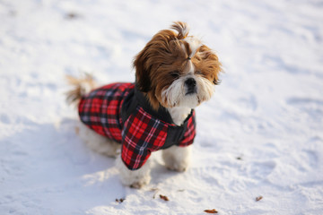 Puppy Shih Tzu in warm overalls in the street in winter