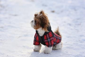 Walk in winter outdoors puppy Shih Tzu