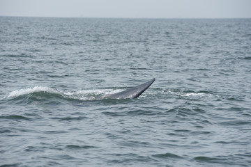 Bryde's whale, Whale in gulf of Thailand..