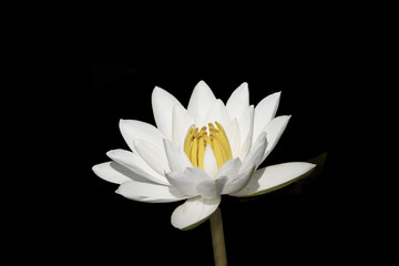 Bright colored lotus on black background.