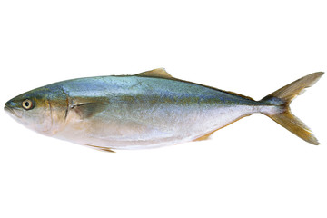 Tuna sea fish on white