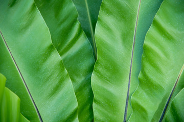 Green Bird's nest fern texture and background
