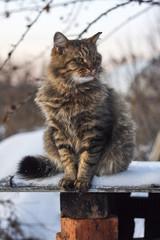 proud siberian cat on snow edge