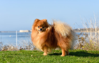 Furry red-haired dog on a bright sunny day against the background of the sea stands on green grass.