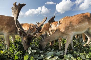 Grazing deers and elks, Baltic Sea, near Preetz, Island of Ruegen, Mecklenburg West-Pomerania, Germany
