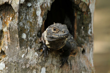 A Iguana in a tree hole, central america