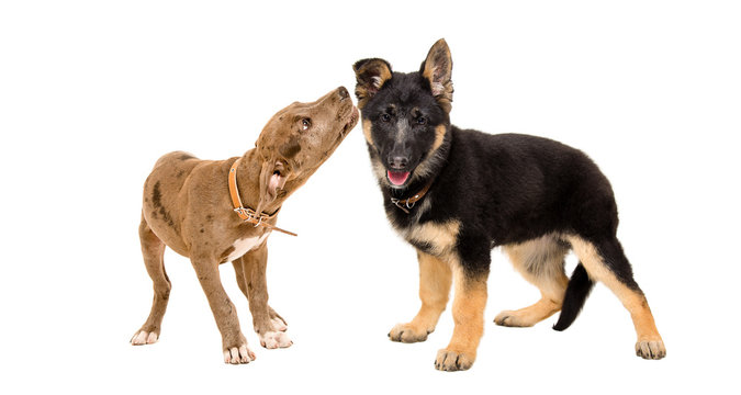 Two funny puppies playing together, isolated on white background