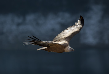 Griffon vulture flying above canyon of Uvac river
