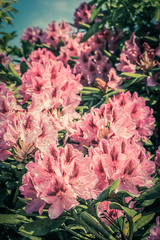 Beautiful blooming pink Rhododendron in vintage style, growing in the park in Spring time.