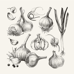 Ink drawn collection of garlic