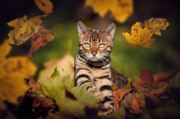 Bengal Cat in Autumn Leafs