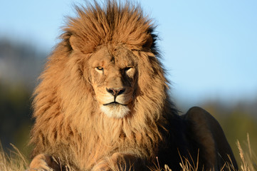 Foto op Canvas Leeuw Different close up view of a lion head