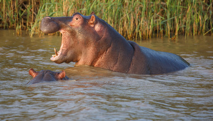 Hippo with Open Mouth and Teeth