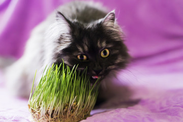 cat eats grass