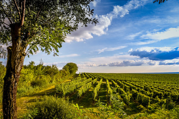 Vineyard sunrise bordeaux vineyard france Europe