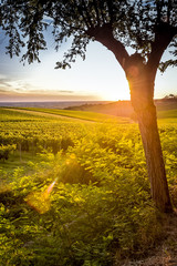 Vineyard sunrise bordeaux vineyard france Europe