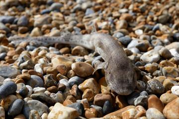 Baby shark on the pebble beach