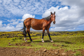 Horse in easter island field