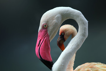 Beautiful young flamingo on frame