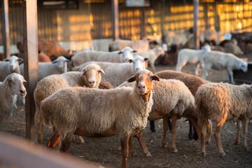 Herd of Sheep in the pen