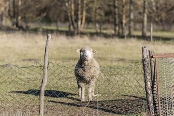 livestock animal sheep grazing