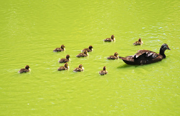 Duck with small ducklings in the pond.