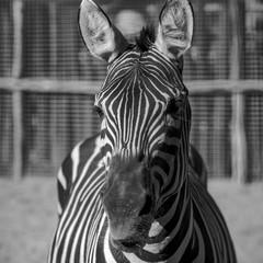 Canvas Prints Zebra black & white zebra portrait