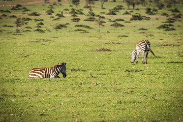 Zebras in Masai Mara in Kenya