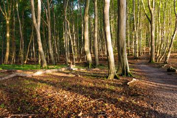 Keuken foto achterwand Weg in bos Buchenwald auf Insel Rügen an einem Tag im Herbst