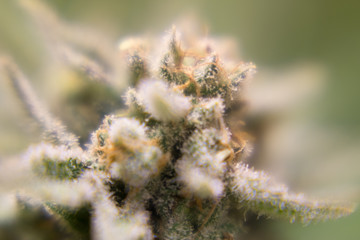 Cannabis flower macro