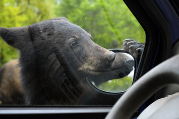 Bear cub along car