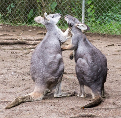 kissing kangaroo