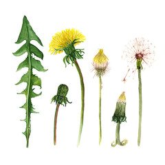 Set of watercolor dandelions. Stages of growing. Illustration on white