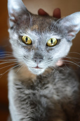 Cat's eyes closeup - grey kitten