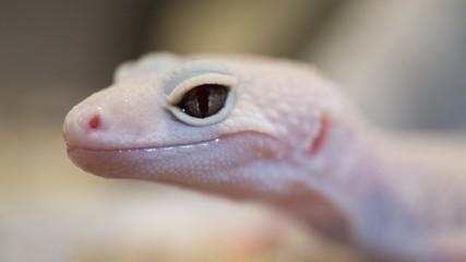 Beautiful Eyes - Crusted Gecko